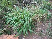 Themeda triandra